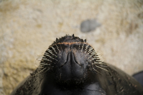 Sea Lion Nose